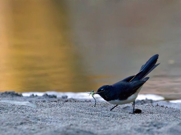 Wagtail with captured dragonfly, Carnarvon Creek. Photo R. Ashdown.