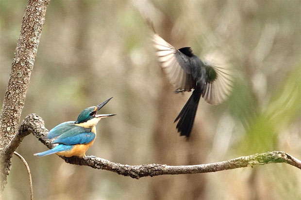 Wagtail defends nest from kingfisher