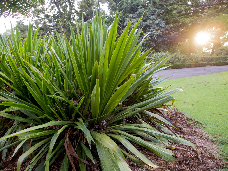 Giant Spear Lilly, Toowoomba Botanic Gardens
