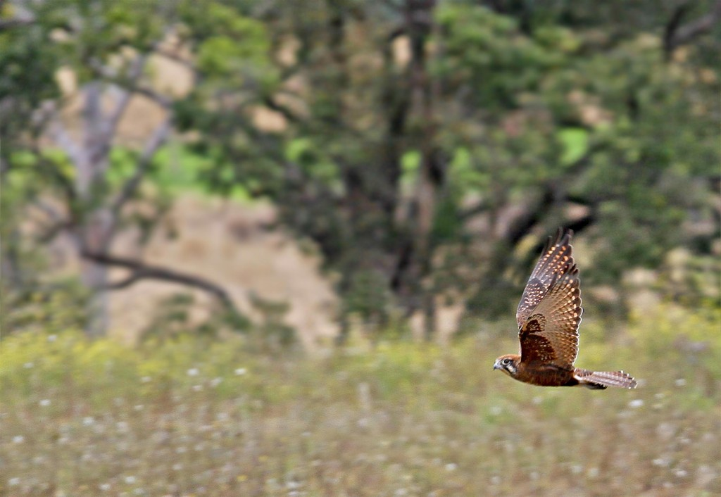 Brown Falcon (Falco berigora), Goomburra