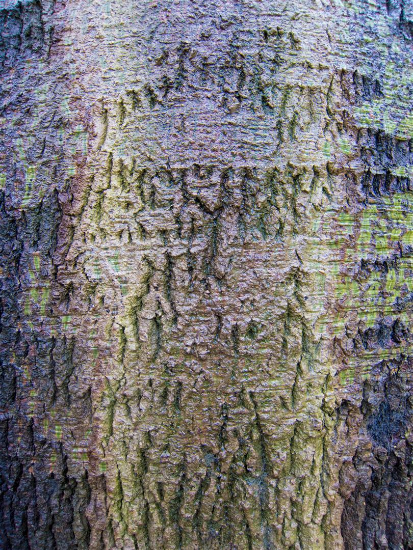 Bottle Tree, Queens Park, Toowomba