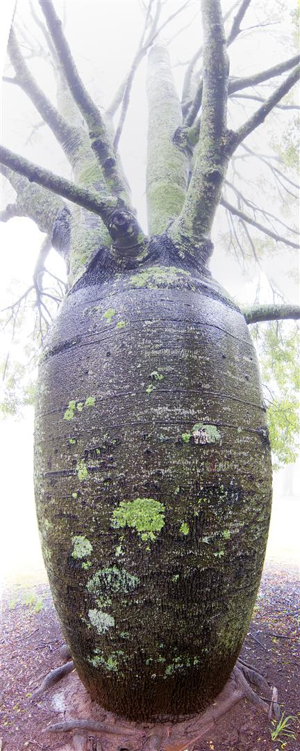 Bottle Tree, Queens Park, Toowomba