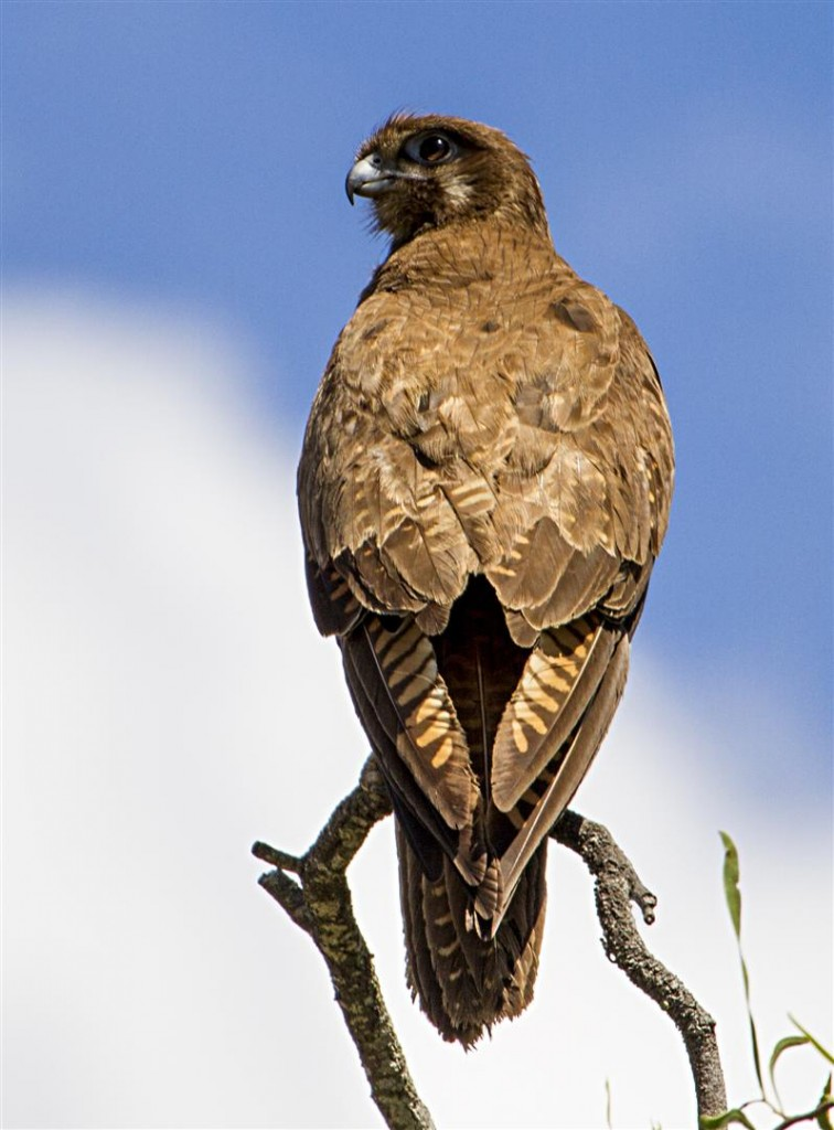 Female Brown Falcon