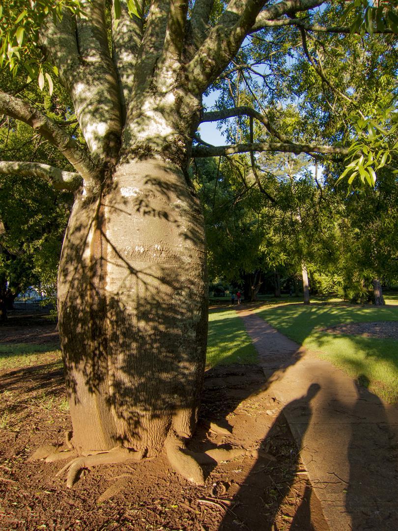 Queensland Bottle Tree.
