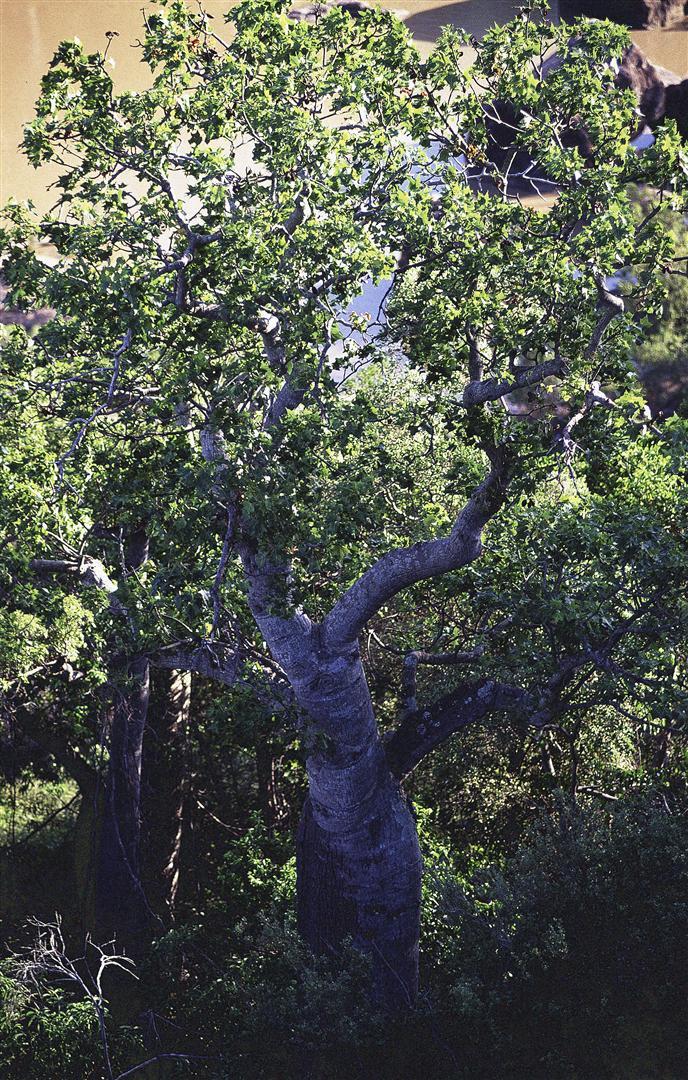 Auburn River NP 2004. Bottletree, Brachychiton.