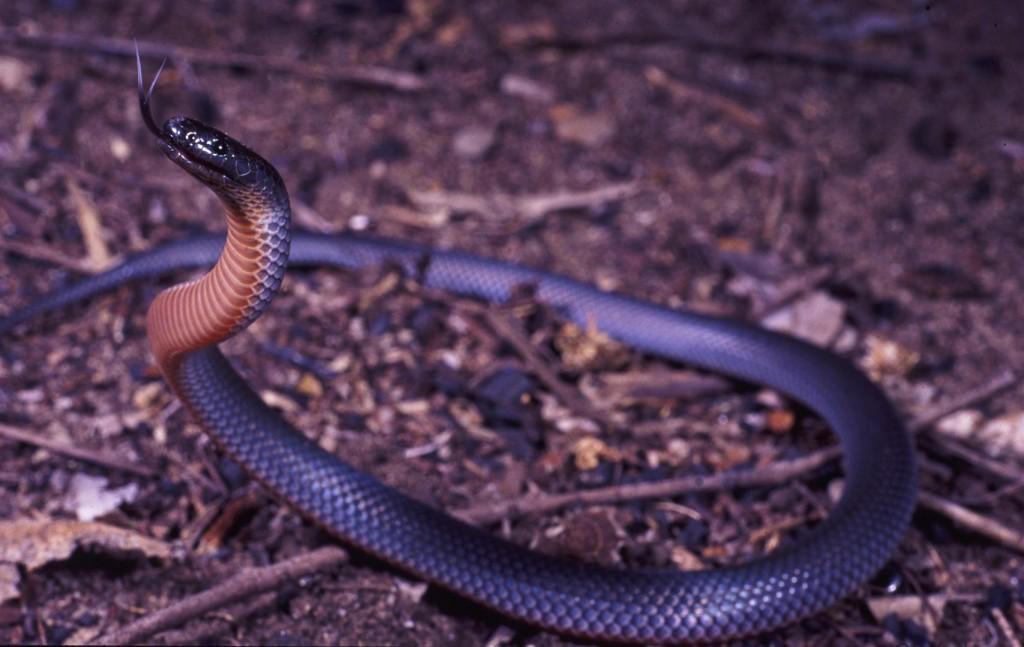 small-eyed snake, Isla Gorge NP