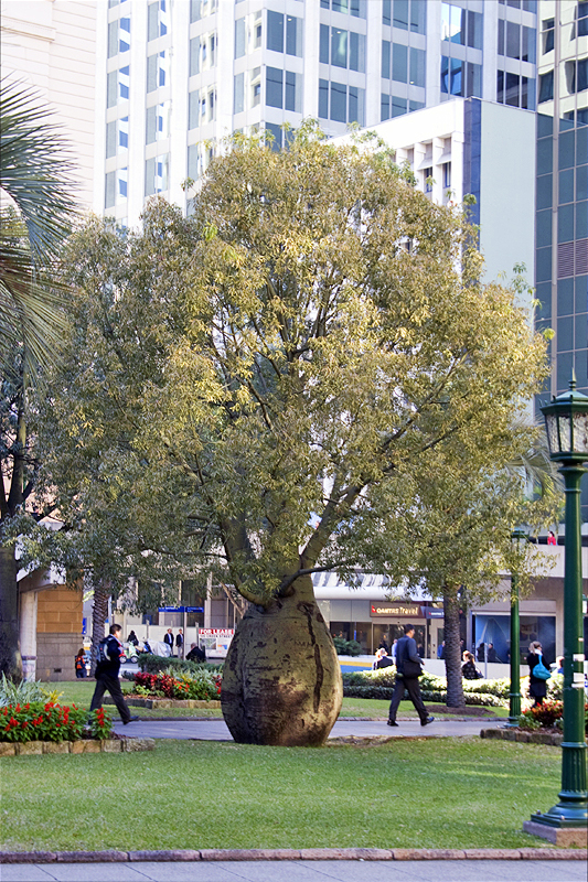 Queensland Bottle Tree, Anzac Square, Brisbane. Photo courtesy Vanessa Ryan.
