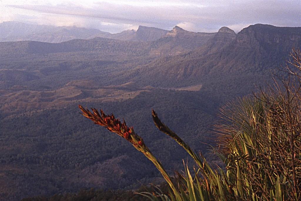 Giant Spear Lilly, Main Range