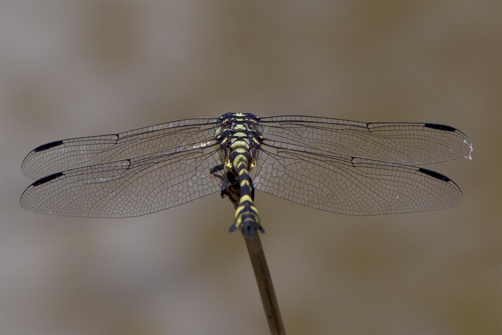 Dragonfly trip with Rod Hosbon, Al Young, Mark Weaver and Harry Ashdown. Murphys Bridge, Lockyer Creek. Australian Tiger, Ictinogomphus australis.