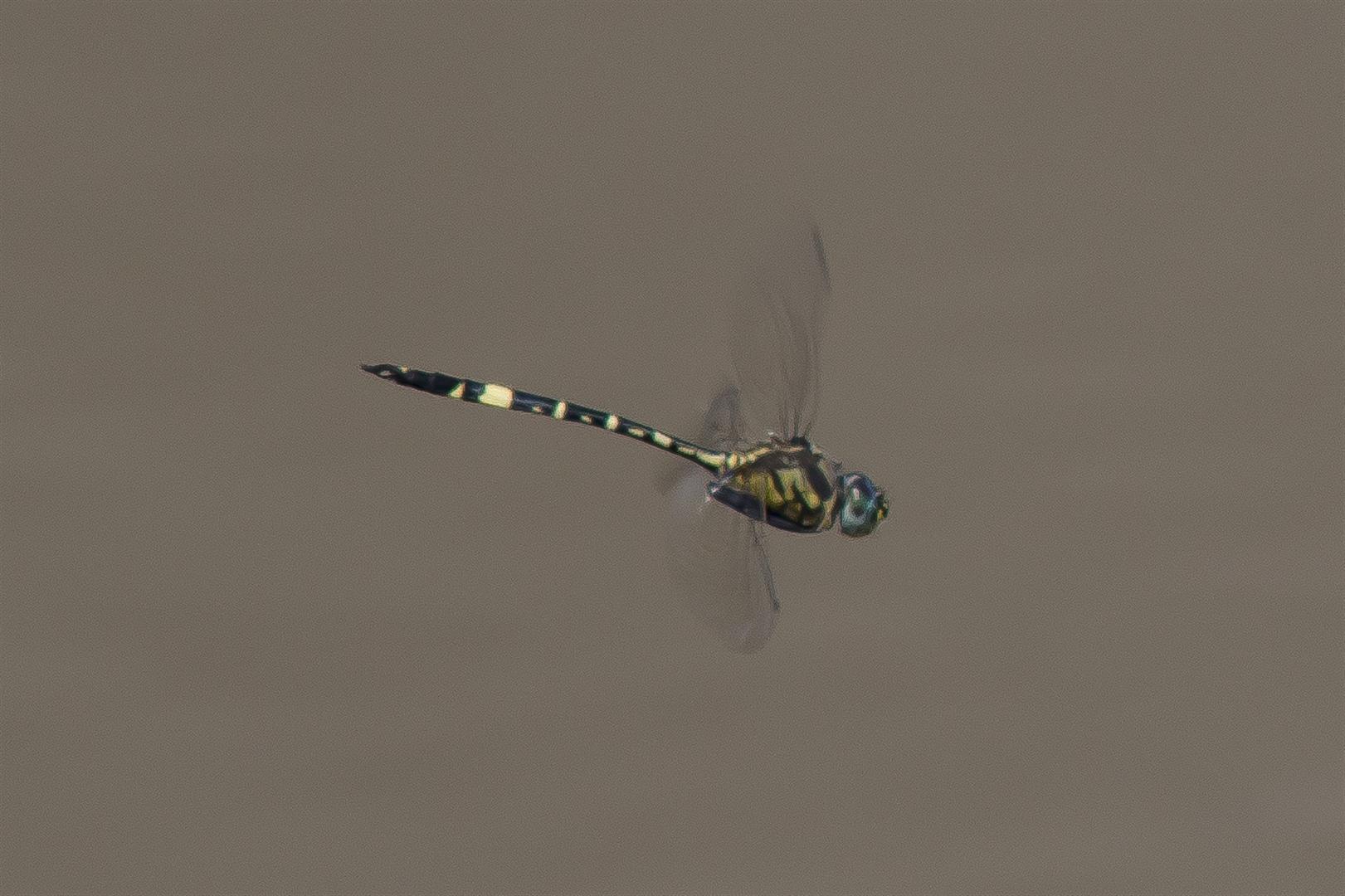 Dragonfly trip with Rod Hosbon, Al Young, Mark Weaver and Harry Ashdown. Murphys Bridge, Lockyer Creek. Hemicordulia superba. Superb Emerald.