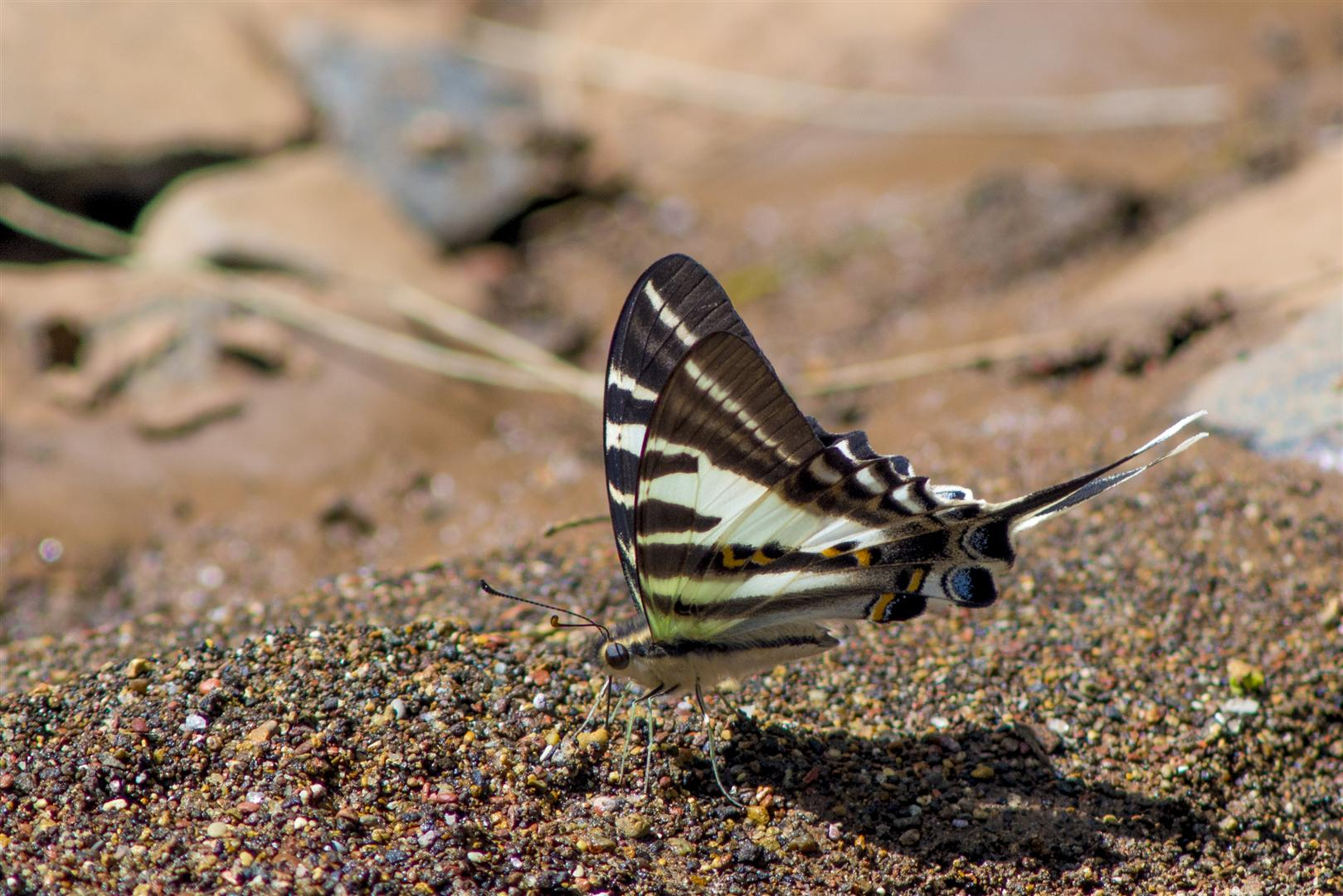 Dragonfly trip with Rod Hosbon, Al Young, Mark Weaver and Harry Ashdown. Redwood Park, Toowoomba. Four-barred Swordtail, Protographium leosthenes.
