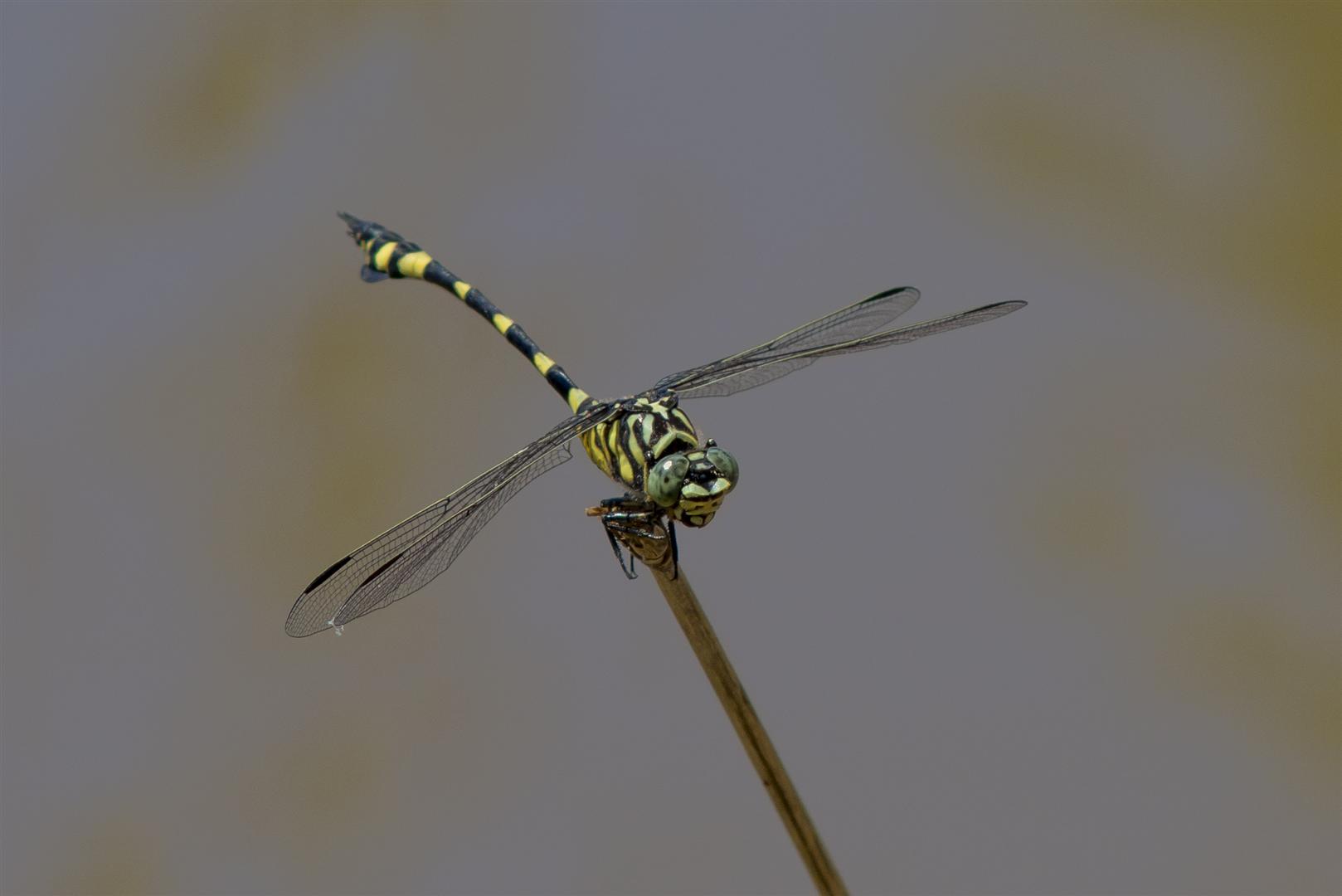 Dragonfly trip with Rod Hosbon, Al Young, Mark Weaver and Harry Ashdown. Murphys Bridge, Lockyer Creek. Australian Tiger, Ictinogomphus australis