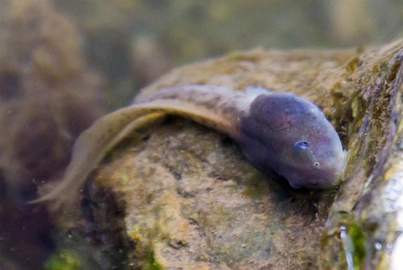 Mixophyes fasciolatus tadpole.