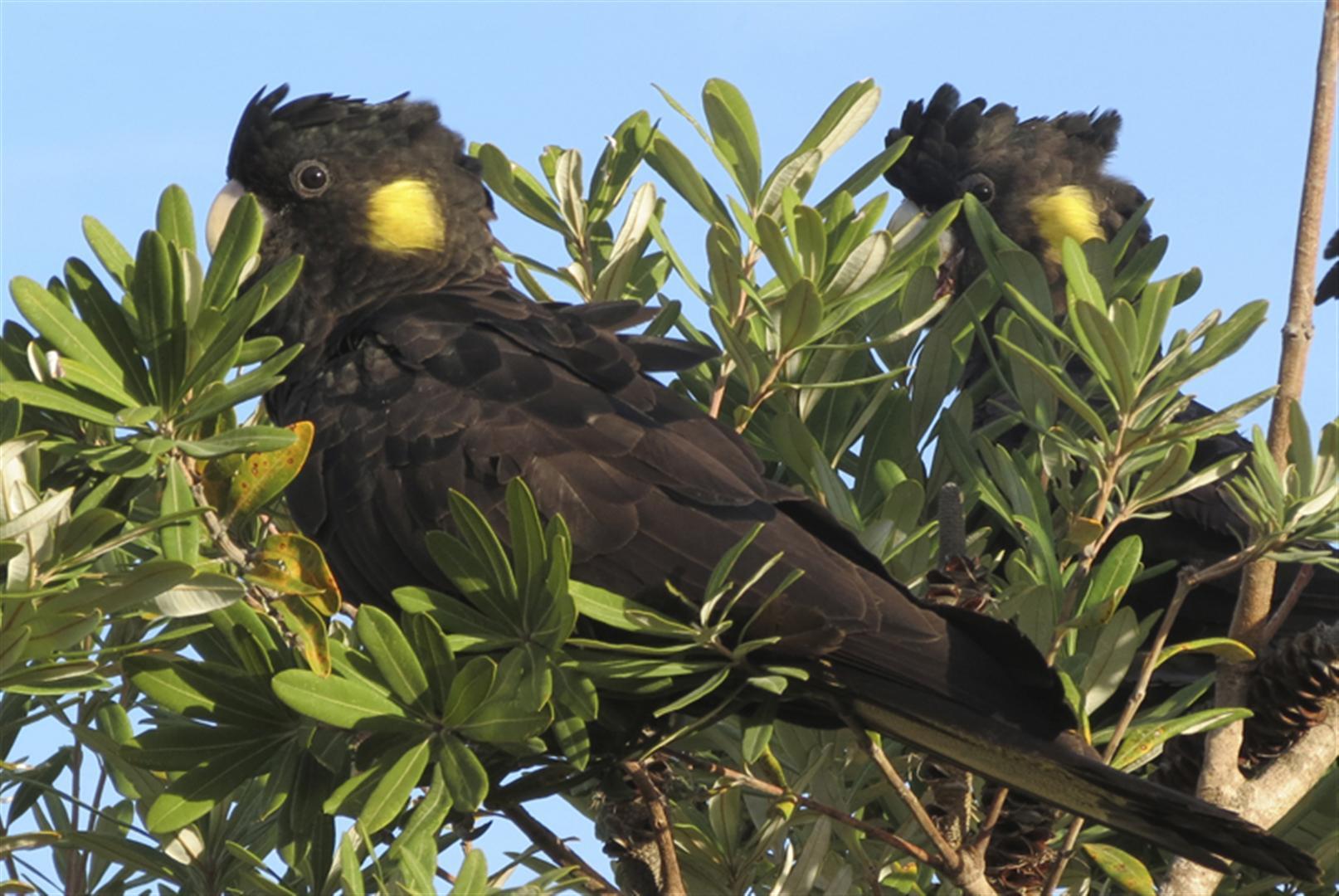 Yellow-tailed Black Cockatoos, Liz Naumann.