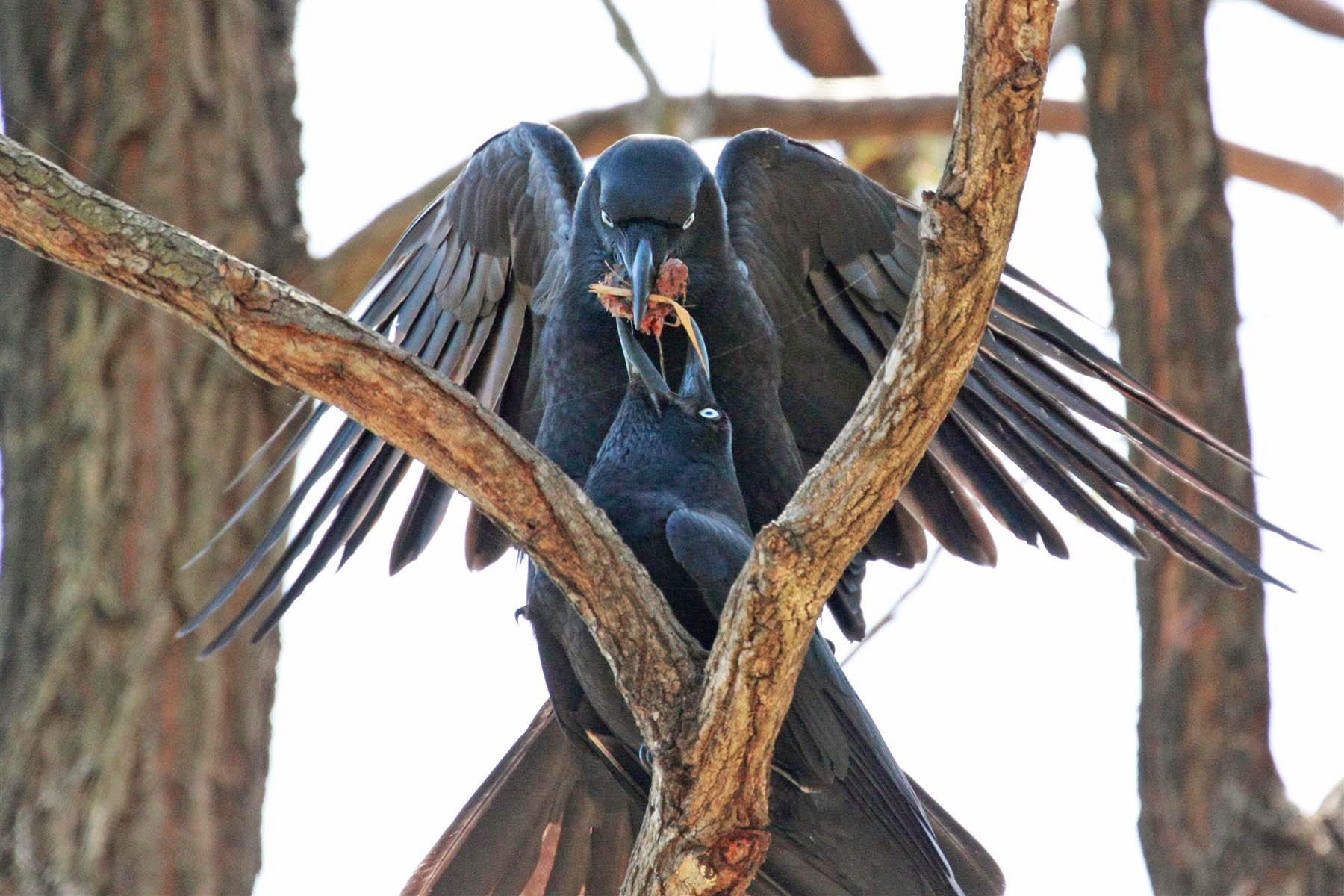 Torresian Crows