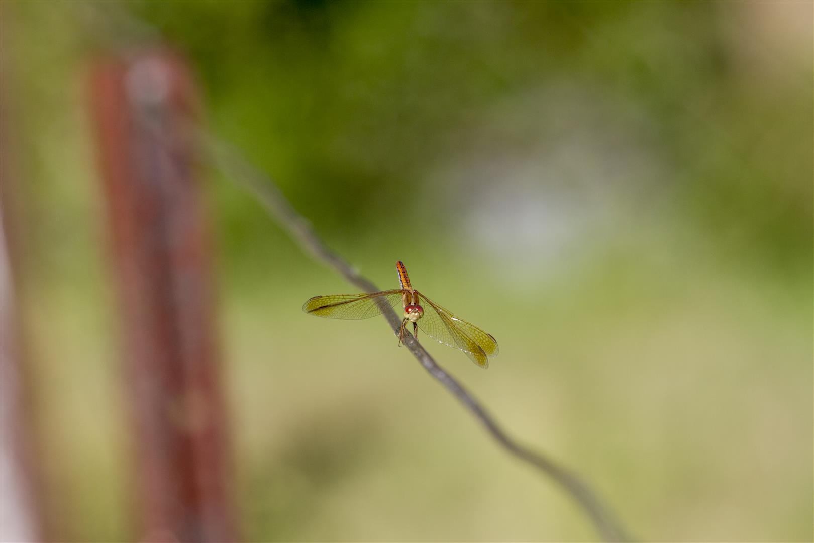 Stockyard Community Hall fence. A rust-coloured dragonfly on a wire fence.