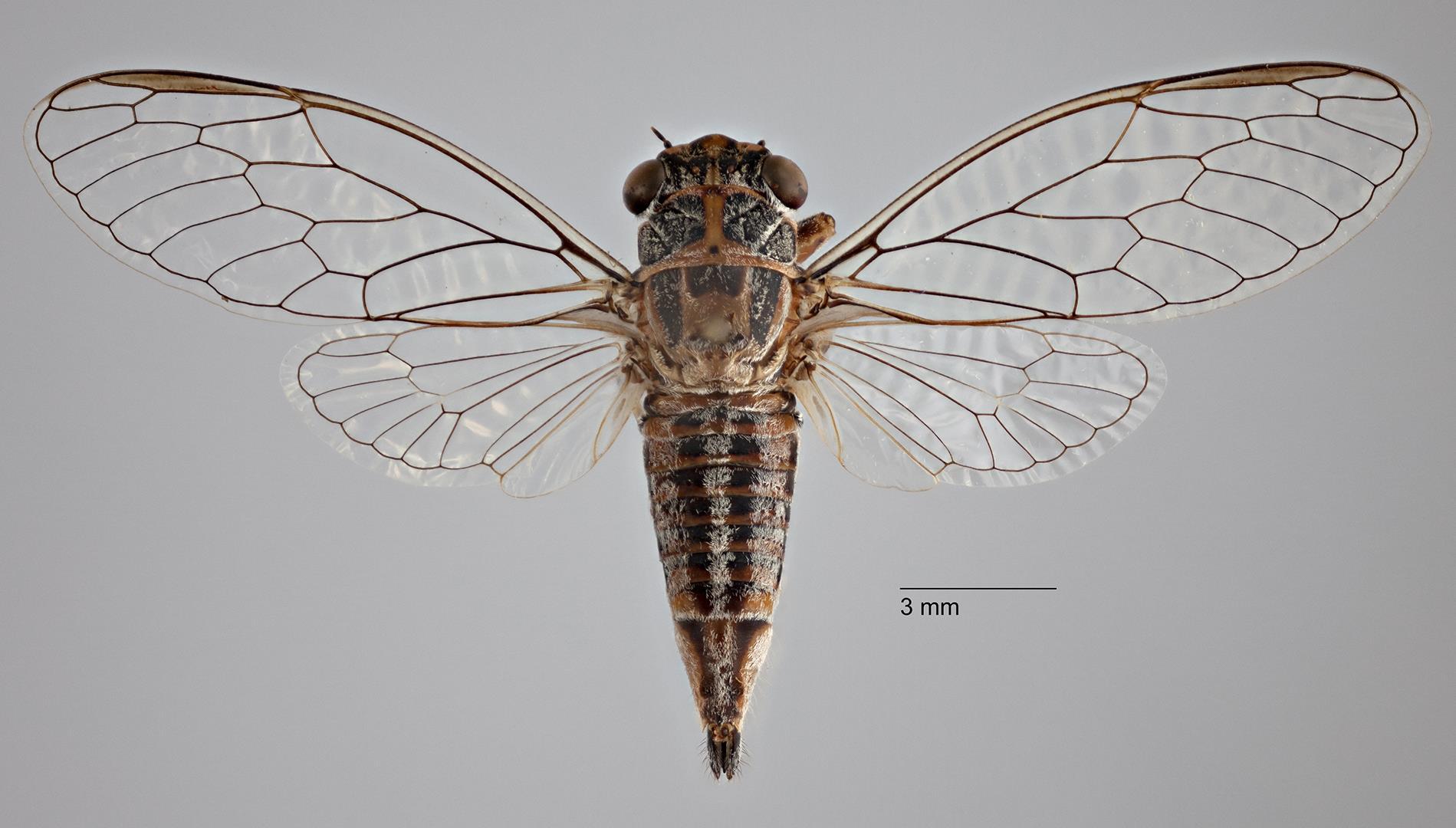Drymopsalta hobsoni sp. nov. Female.