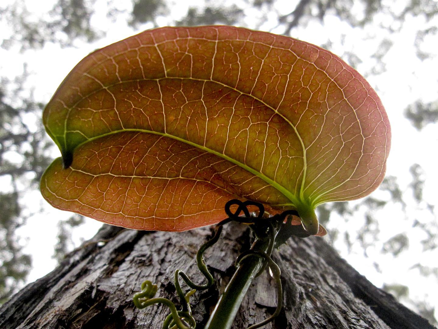 Smilax australis. Photo Raelene Neilson.