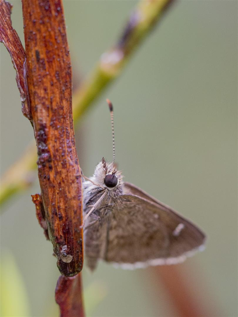Banded Grass Skipper  Toxidia parvulus. Photo Robert Ashdown.