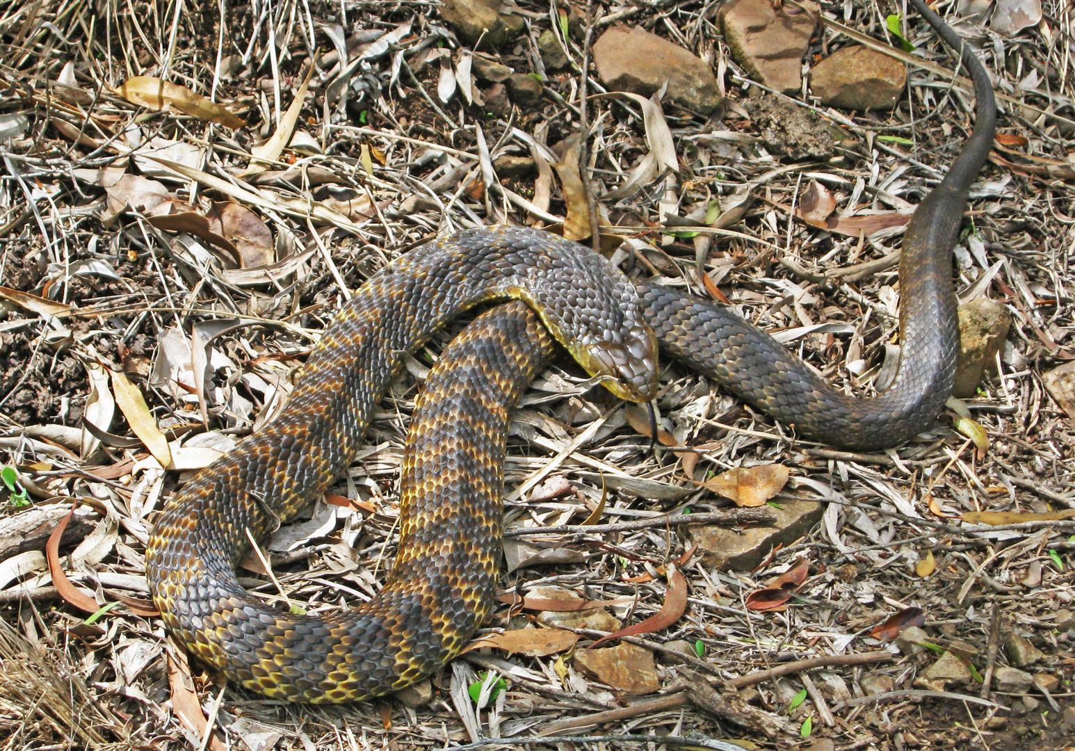 Tiger Snake, Bunya Mountains National Park.
