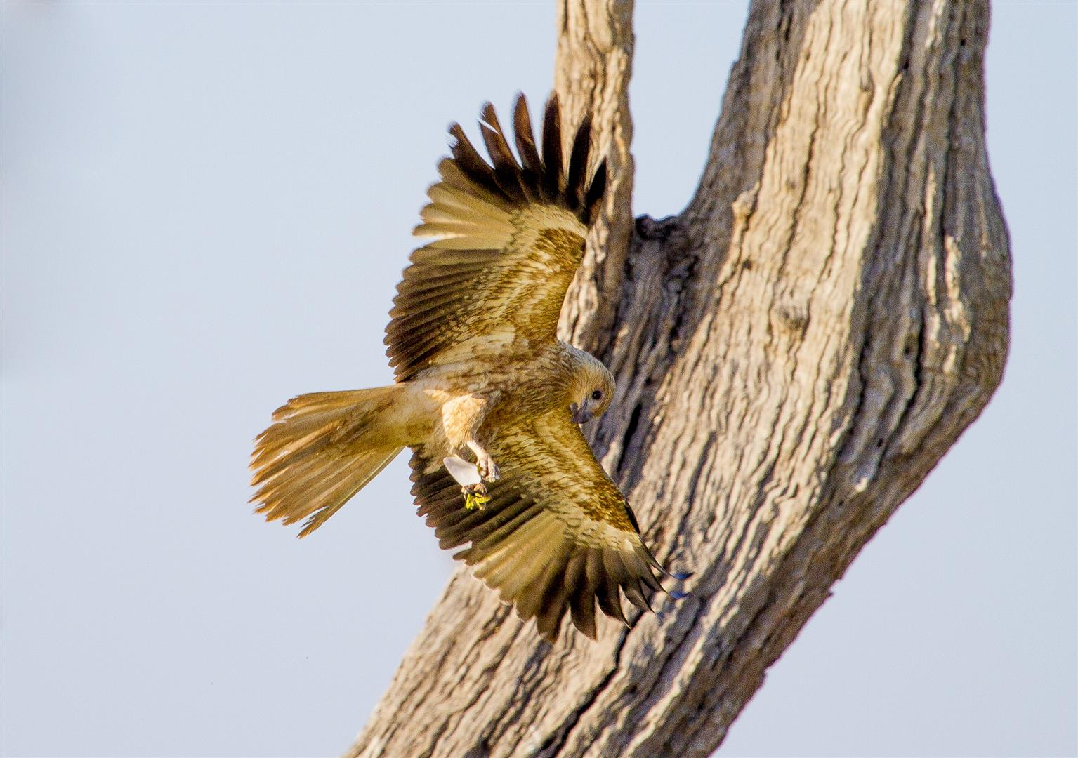 Whistling Kite, Lake Nuga Nuga.