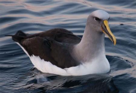 Buller's Albatross. Photo courtesy Lennaert Steen.