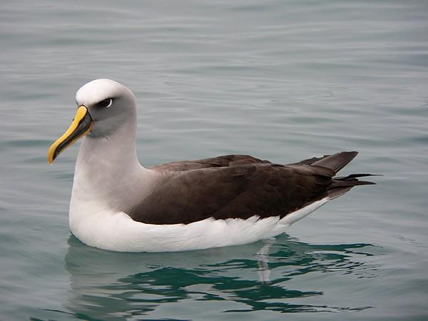 Buller's Albatross. Photo courtesy Colin Reid.