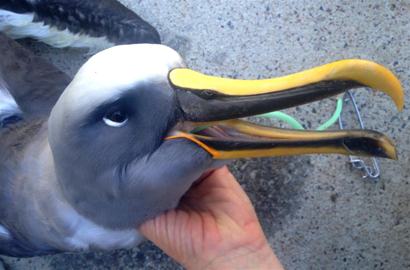 Albatross_FI_130530_ 005