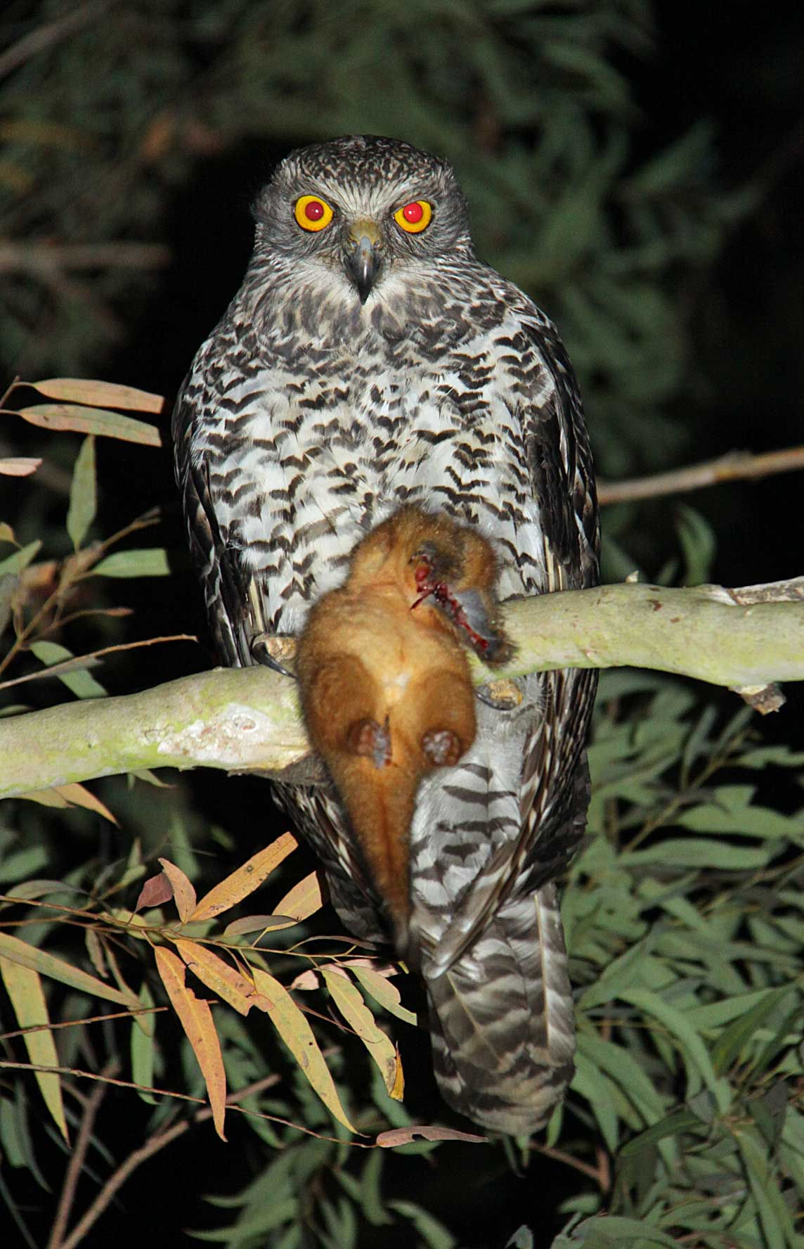 Powerful Owl (Ninox strenua) with Ringtailed Possum (Pseudocheirus peregrinus). Photographed at Moggill by Harry Hines.