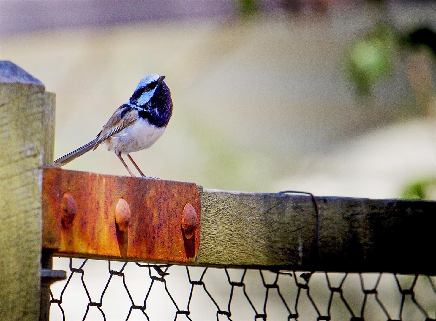 Superb Blue Fairy-wren, Sundown National Park.