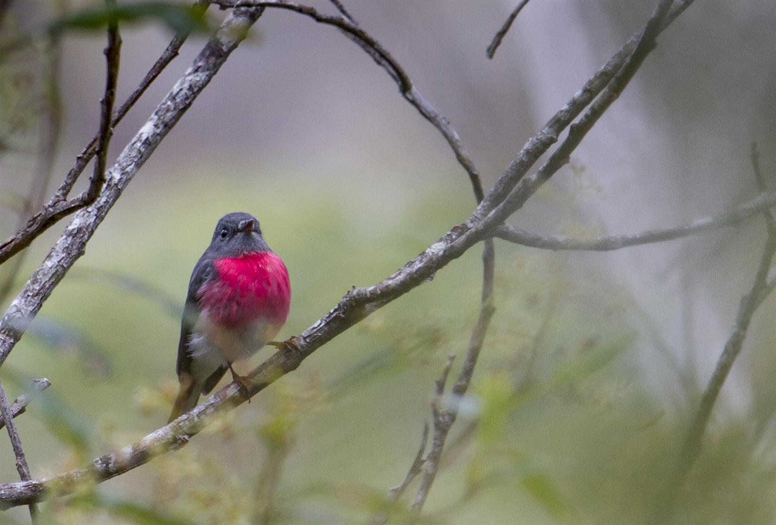 Rose Robin, Crows Nest National Park.