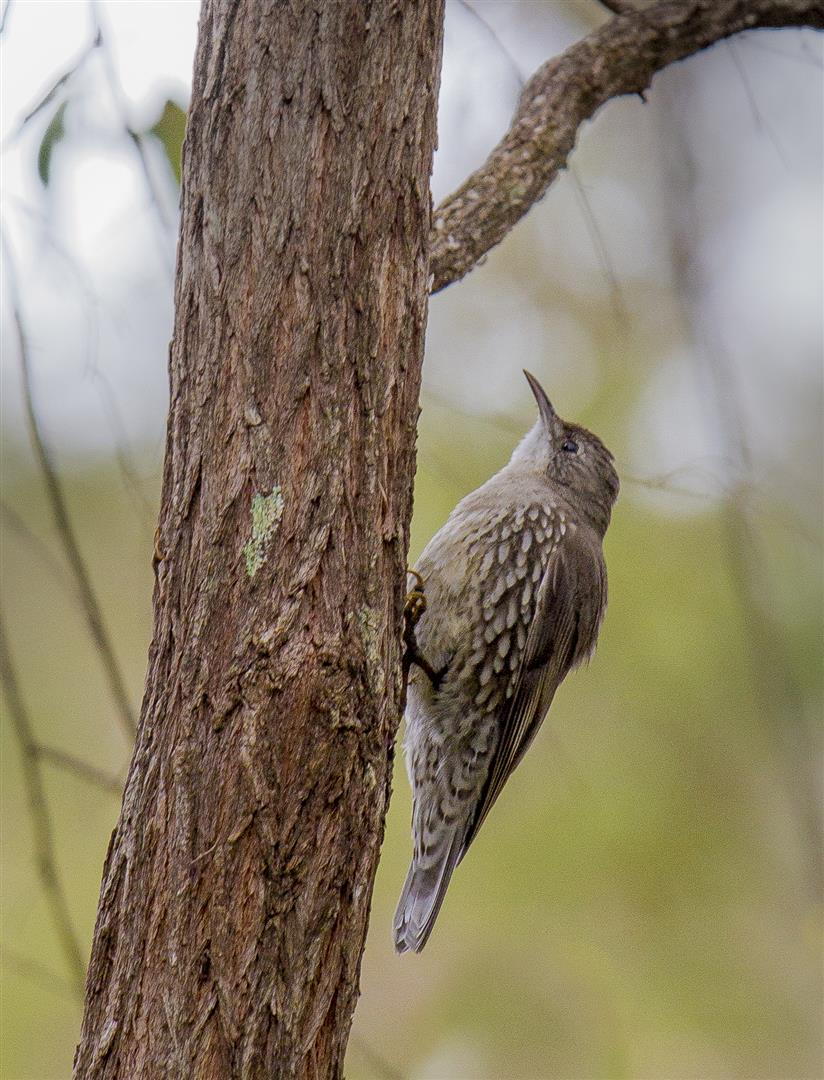 White-throated Treecreeper, Crows Nest National Park.