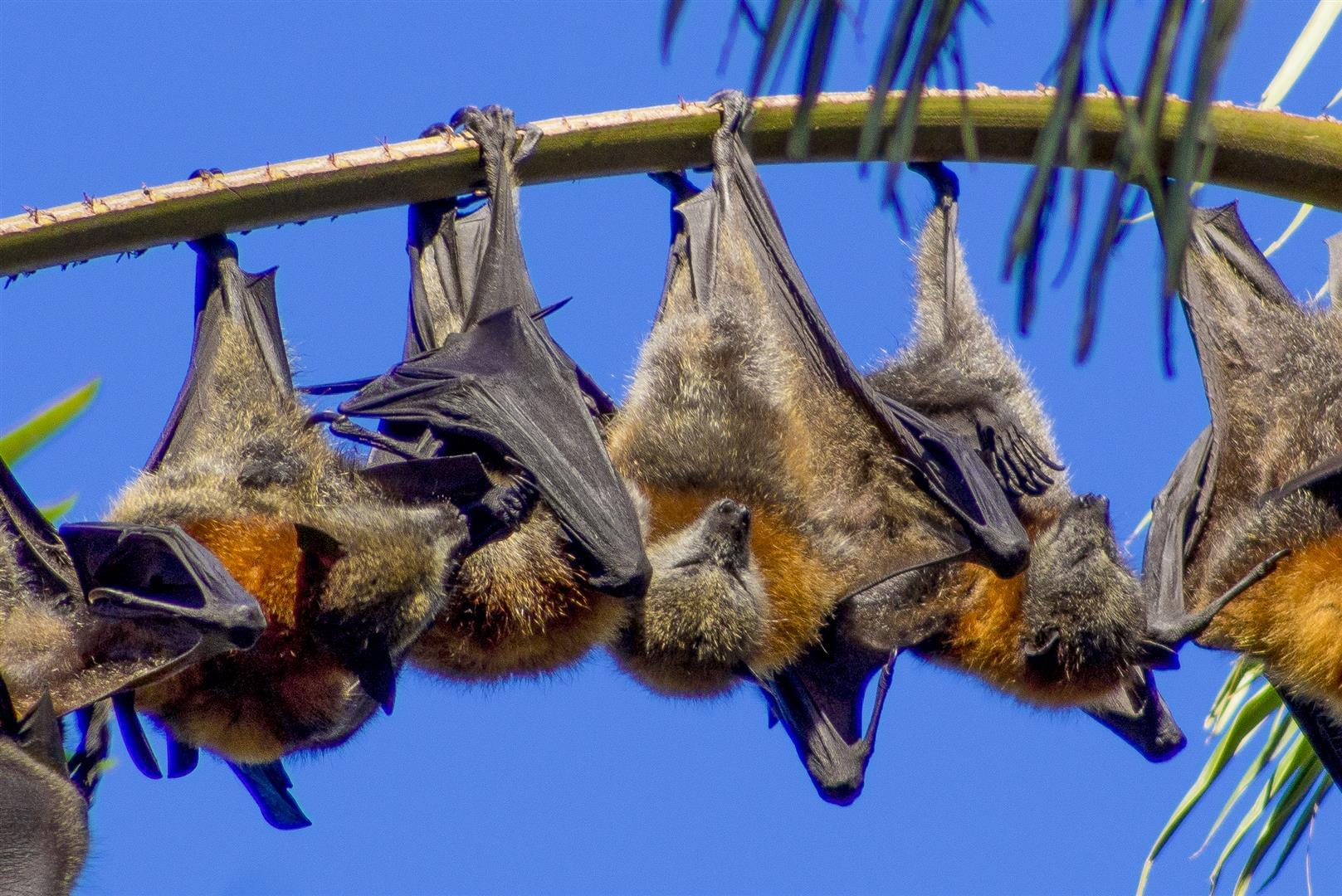 Grey-headed Flying-foxes, The Palms National Park.