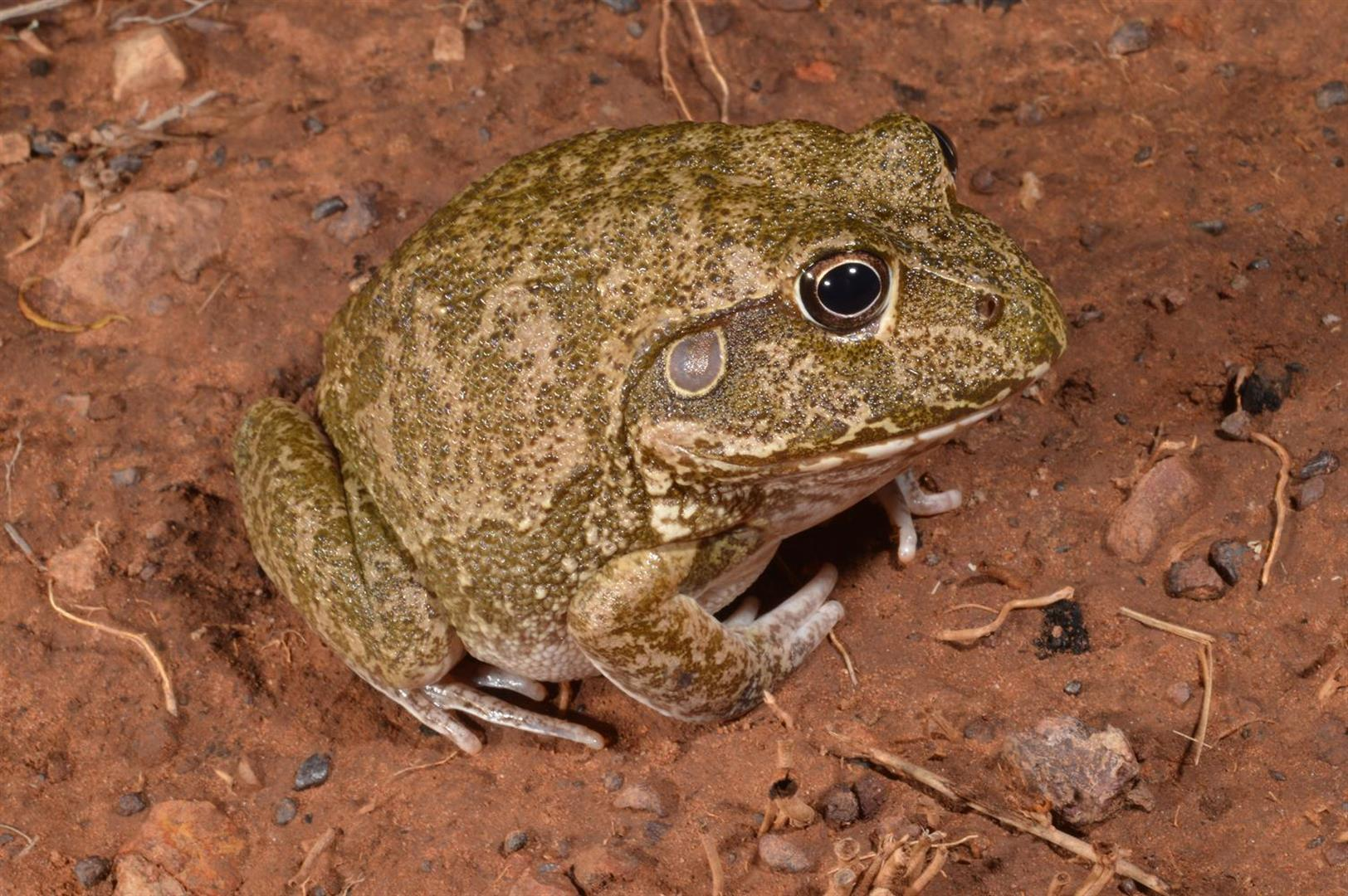 Eastern Snapping Frog (Cyclorana/Litoria novaehollandiae), Glenmorgan, Queensland.  Photograph courtesy and copyright Mike Swan.