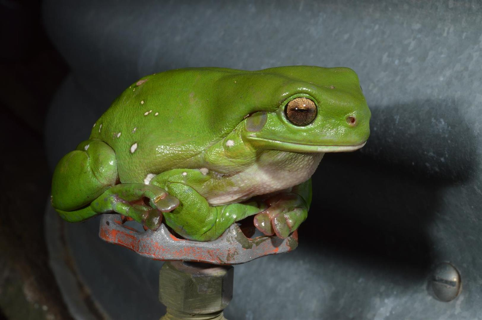 Green Tree Frog (Litoria caerulea), Lake Broadwater, Queensland. Photograph courtesy and copyright Mike Swan.