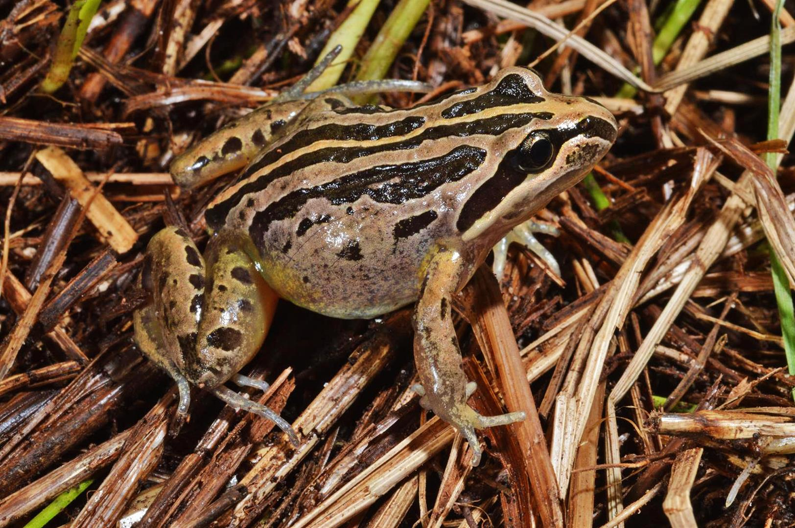 Striped Marsh Frog (Limnodynastes peroni), Healesville, Victoria.  Photograph courtesy and copyright Mike Swan.