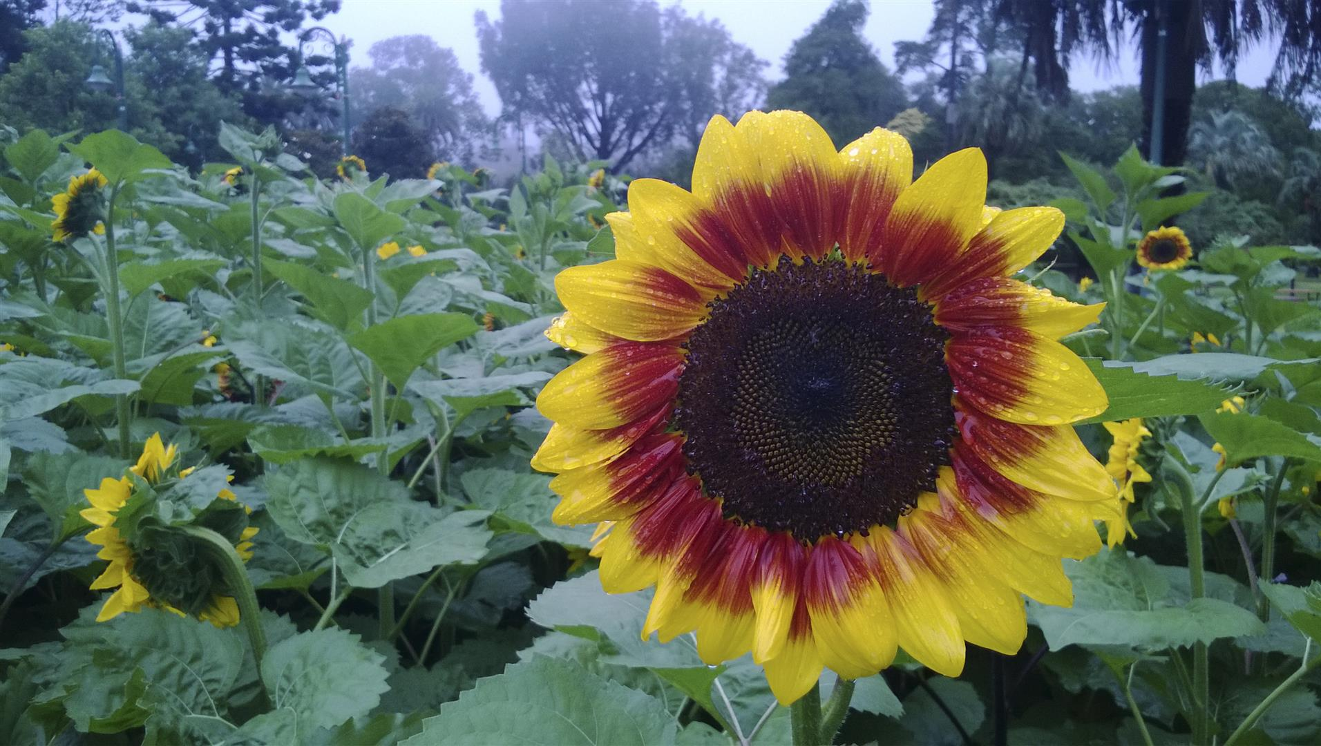 Sunflowers, Queens Park Botanic Gardens 2014.