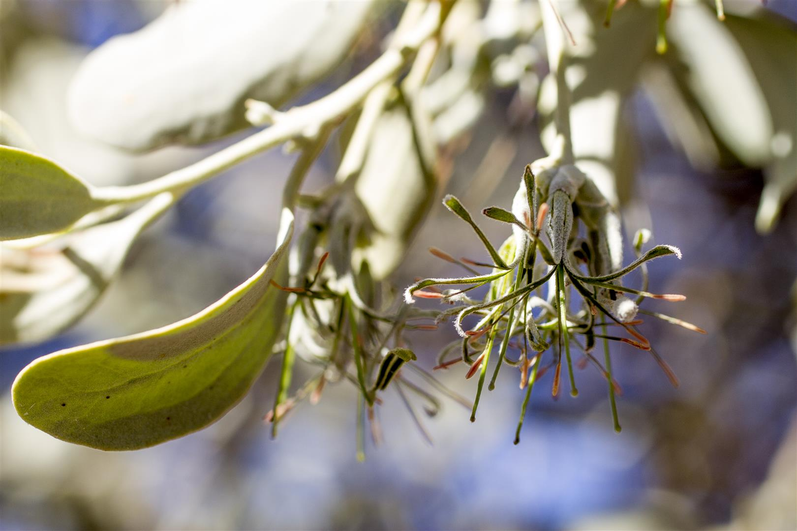 The same species, closer view. The varied and subtle forms and colours of Australian mistletoe make them fascinating photographic subjects. Photo R. Ashdown.