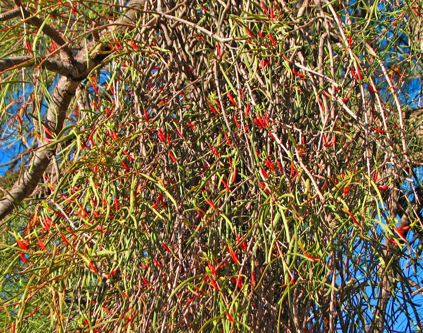 Harlequin Mistletoe
