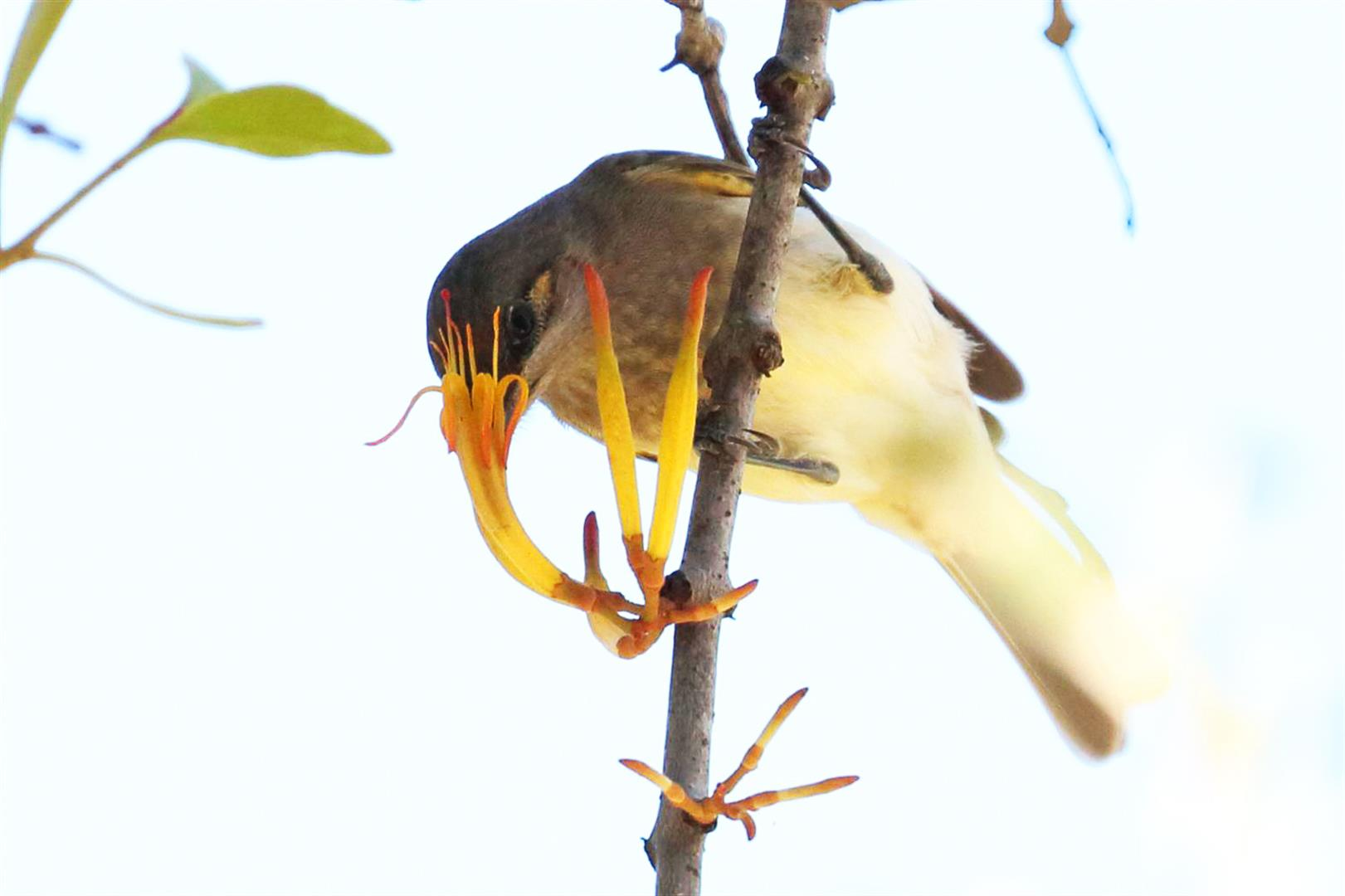 Brown Honeyeater in search of Mistletoe nectar. Photo Mike Peisley.