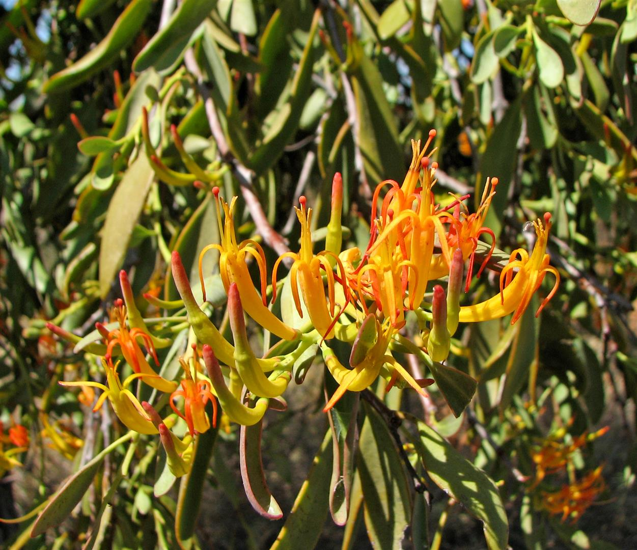 orange-flowered mistletoe