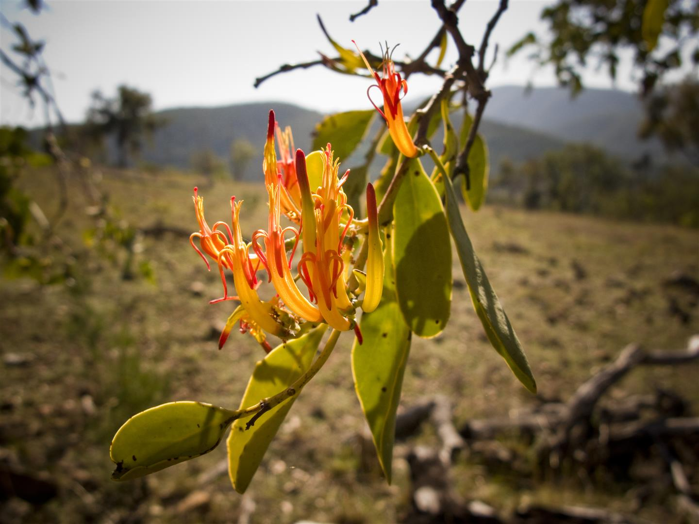 Orange-flowered Mistletoe (Dendropthoe glabrescens), Sundown National Park. Photo R. Ashdown.