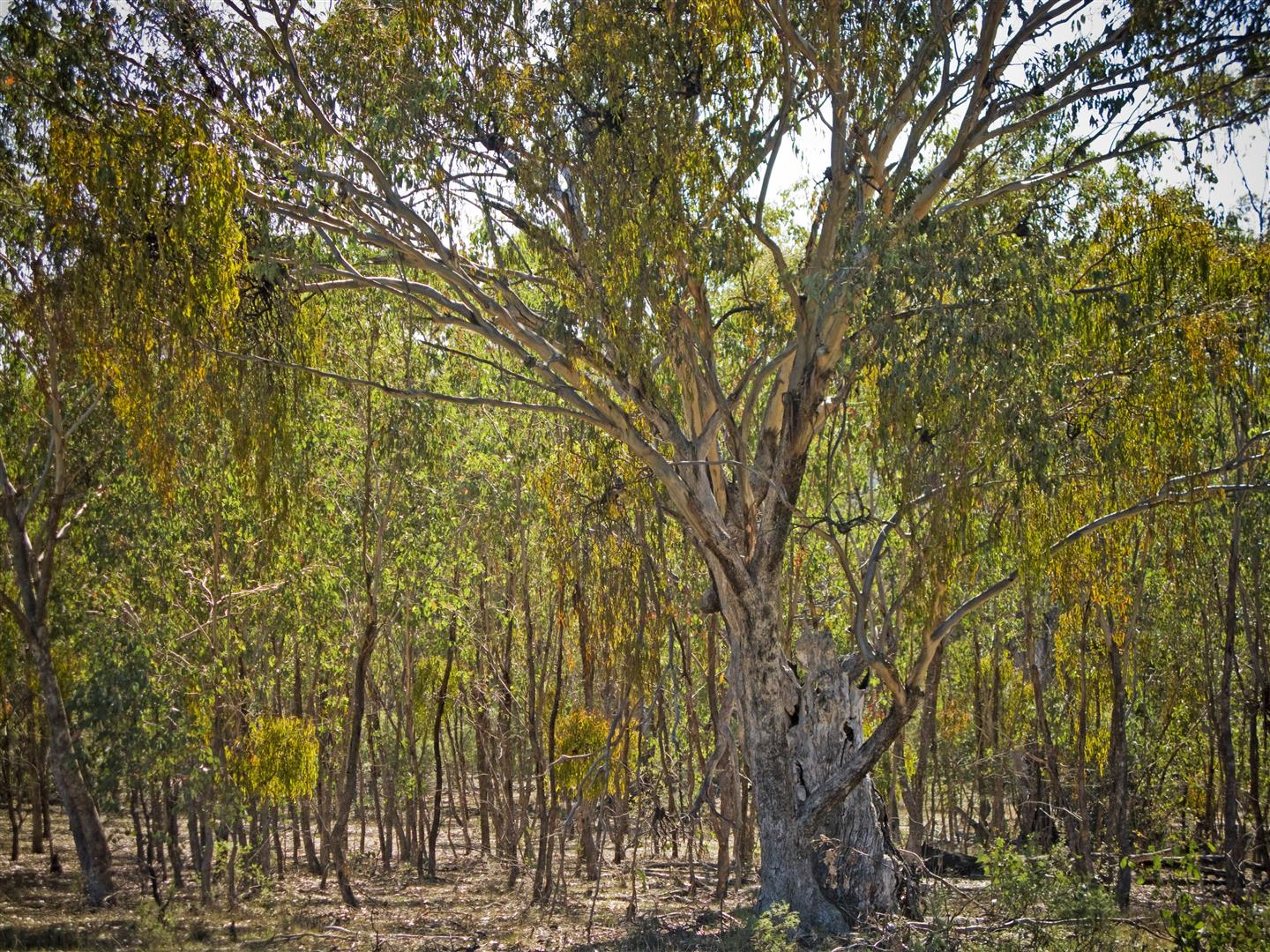Misteltoe plants growing on a eucalypt, Sundown National Park. Photo R. Ashdown.