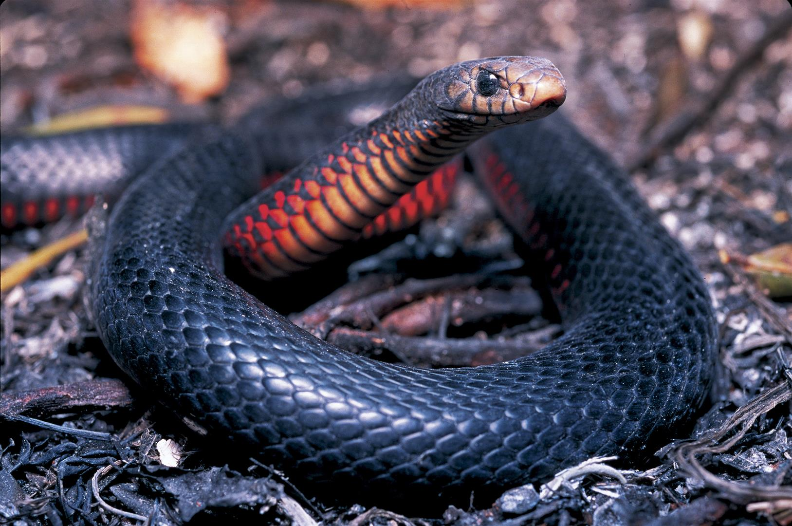 After the fire has passed - Red-bellied Black Snake, Lota, Brisbane. Photo R. Ashdown.