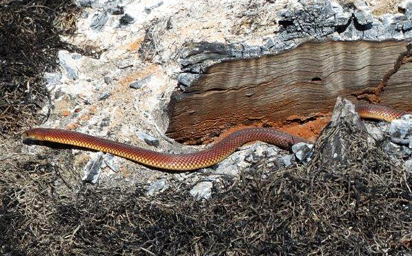 The snake emerges from the ashes of a recent fire. Photo Lindsay Muller.