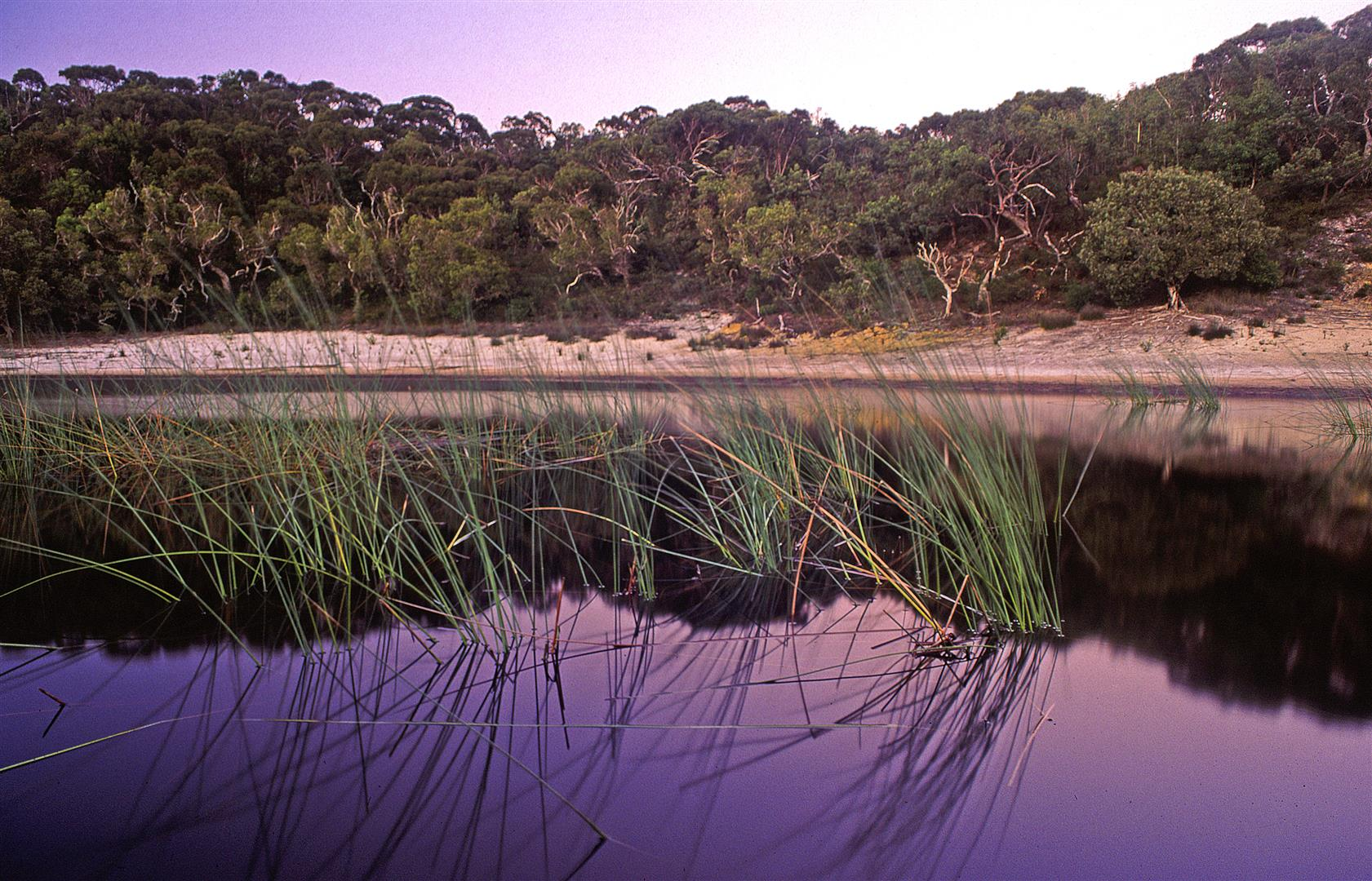 Grey sedges in the acidic waters of a freshwater lake on Moreton Island.