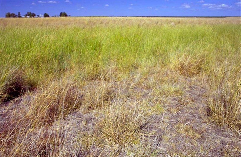 Grassland on Bongeen, Darling Downs, 2005. Typical dragon habitat. Photo by R. Ashdown.