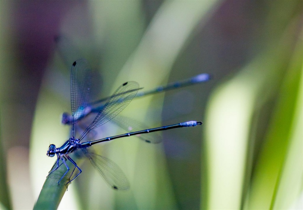 Common Flatwing damselflies.