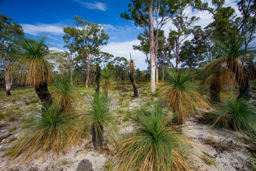 Grass Trees on sandy soil near the Maranoa River.
