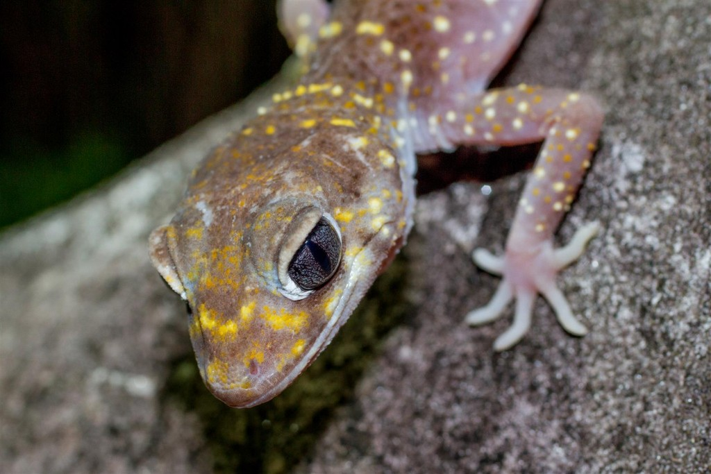 Thick-tailed Gecko.